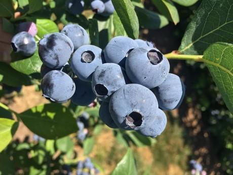 Titanium_fruit